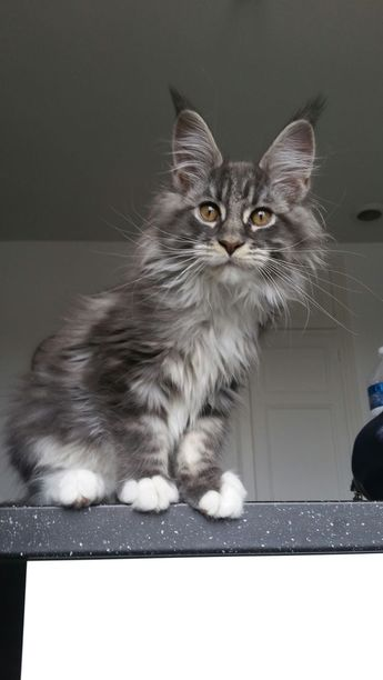 How To Tell If A Kitten Is A Maine Coon
