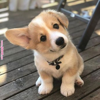 This corgi puppy is just too much! Talk about cuteness overload!