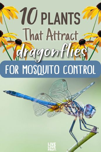 Tired of being swarmed by mosquitoes in your backyard? Here are 10 plants that attract dragonflies for mosquito control all summer long. #dragonflies #dragonflyplants #plantsthatattractdragonflies #gardening #gardenideas #pond #gardendesign #mosquitorepellingbugs