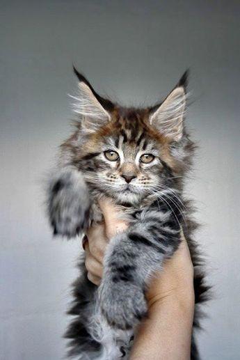 Maine Coon cat.