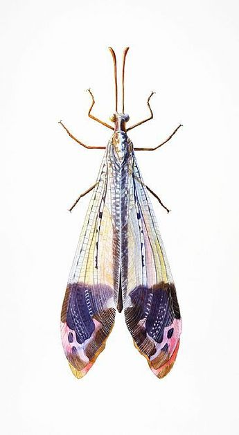 The wings on this insect are like a work of art. Antlion - insect, antlion, glenurus by Dinah Wells