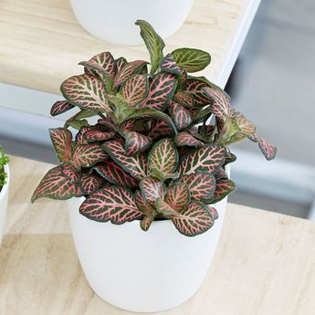 Buy snakeskin Fittonia Bottle garden / terrarium plant: £5.49 Delivery by Crocus