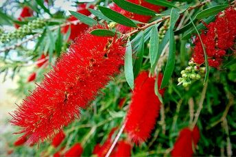 "Callistemon, ""kings park special"" Seedling Hardy Native tree"
