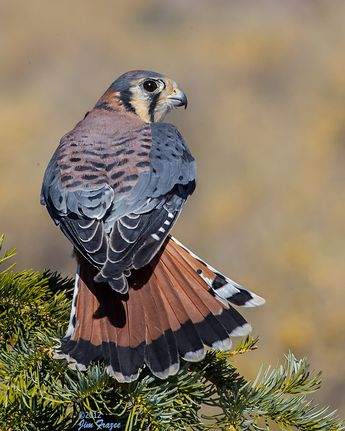 American Kestrel - One of Hawks Aloft's 26 Non-releasable Rescues