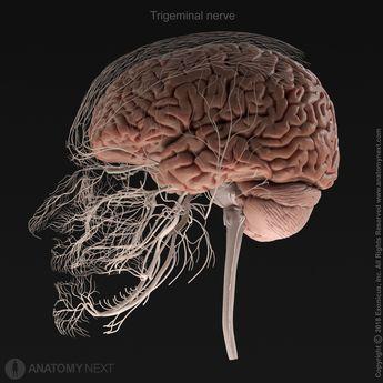 Trigeminal nerve (CN V)