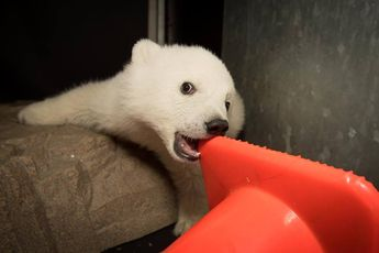 Celebrate International Polar Bear Day With Nora, Columbus Zoo's Adorable Polar Bear Cub Kids News Article