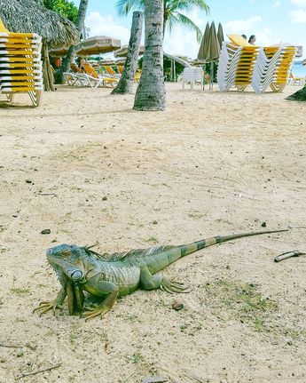 Just chillin' on the beach! Tiny Pinel Island next to St Maarten has some fearless iguanas. To get there we rented kayaks from @caribbeanpaddling. Great way to #OptOutside for Black Friday! (via Instagram)