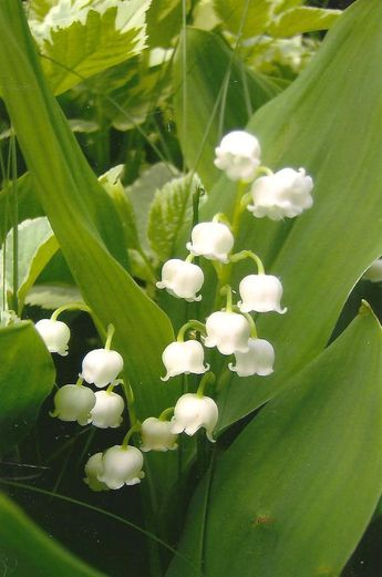 Flower Photography Lily-of-the-Valley on Blank Note Card Delicate Fragrant White Beauties Beautiful All Occasion Note Card Springtime