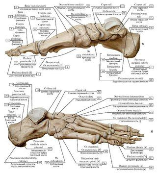 Анатомия, Кости.