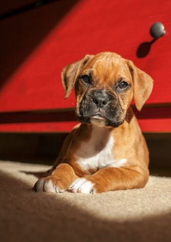 Betty warming up after a bath.   A community of Boxer lovers! #boxerpuppies