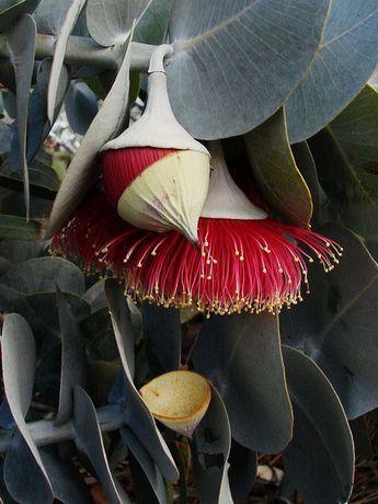 "Rose mallee ""hats off""- (flower operculum falls revealing 'brush' of the red stamens) - Eucalyptus rhodantha in Kings Park"