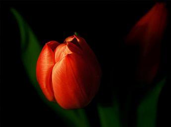 """Tulip"" by cynlee - Caedes Desktop Wallpaper"