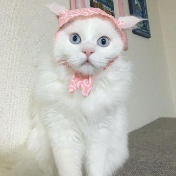 なんか被せられちゃってる僕!! かぶ兄ちゃんの落としたご飯食べちゃったからドロボ〜ニャンって‥ #みんねこ#picneko#cat #kitty #catsofinstagram #ピクネコ#カメラ女子 #ねこどろぼう #かぶりもの猫 #かわいい#ウェブキャットショー #ウェブキャットショー2 #ねこ部 #ペコねこ部 #しろ猫 #20日ハニャン丸祭 #ねこ好き #ねこ#nekoくらぶ#猫#ねこのいる暮らし#まんまる猫#ブルーアイ#にゃんすたぐらむ #ネコ写真#ねこら部#ふわもこ部 · yumimomo7 · Zamaye