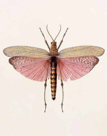 Brigid Edwards. Phymateus saxosus (Grasshopper), 2003, watercolour on vellum