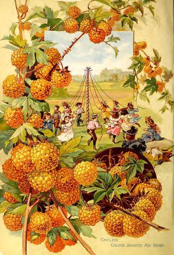 Childs' Golden Japanese May Berry (1895)