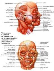 El sistema muscular (página 2) - Monografias.com