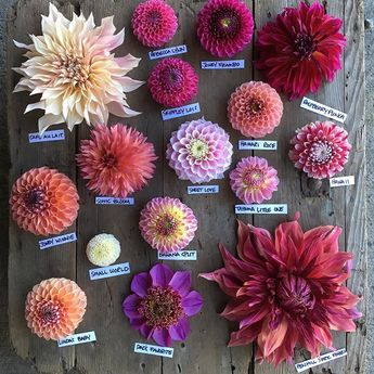 Pink dahlias currently in bloom in the garden #homegrownflowerswa #whatcomcounty #dahlias
