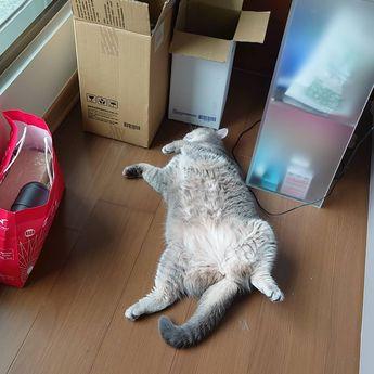 #instacat#catsofinstagram#kitten#MaineCoon#instagood#instalike#like4like#dailypic#dailylife#picoftheday#Taiwan#cat#catlife#catcafe#neko#neko#貓#britishshorthair#ブリティッシュショートヘア#ニャン#ねこ#ねこ部#日常#台灣