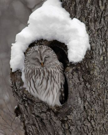 Snow Capped Owl.