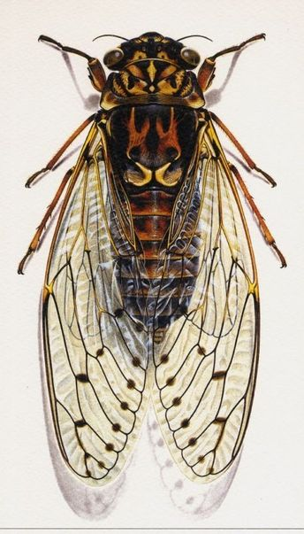Cicada illustration by Bernard Durin (French, 1940–1988)