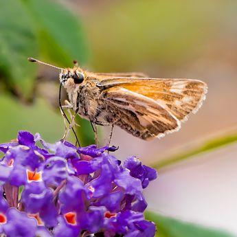 Woodland Skipper Butterfly Print Set