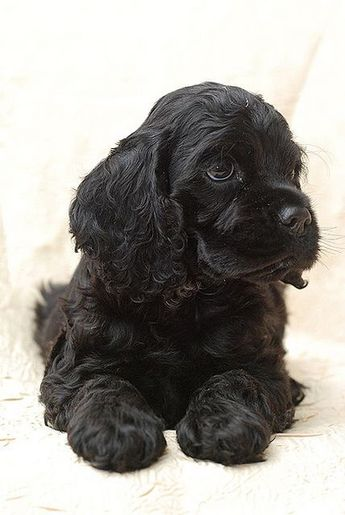 #cocker #spaniel #puppy