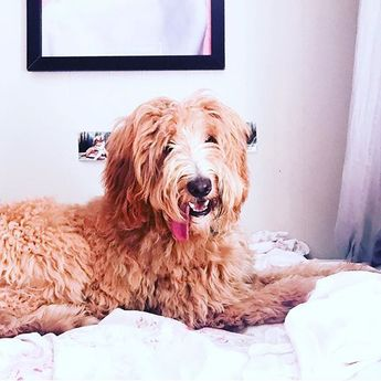 Happy Tongues Out Tuesday. #tonguesouttuesday #goldendoodle #abc7eyewitness...  Happy Tongues Out Tuesday. #tonguesouttuesday #goldendoodle #abc7eyewitness #doodlesofinstagram #goldendoodlesofinstagram #smile #puppiesofinstagram #dogsofinstagram