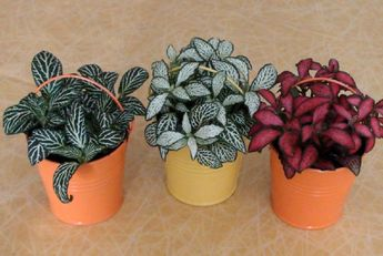 Beautiful Fittonia (Nerve Plant) Collections for House Plant (16)
