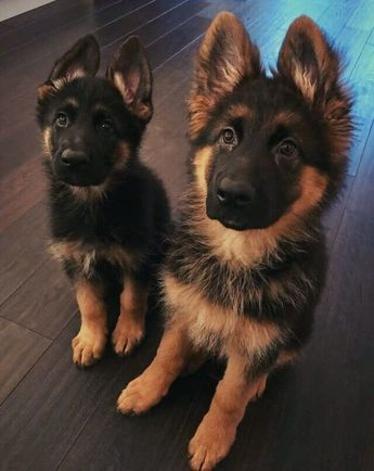 35 #GermanShepherd Puppies That Really Cute