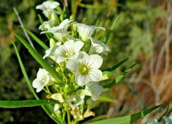 "Duboisia hopwoodii ""pitcheri""  NATIVE BUSH  10 SEEDS pituri, pitchuri thornapple"