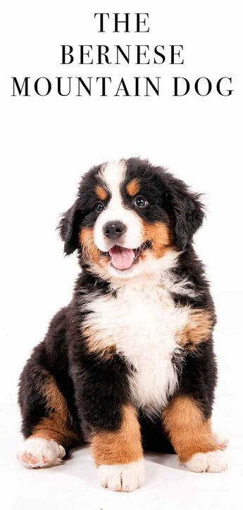 Image of: Bancassurance Article Bernese Mountain Dog The Gentle Giant Of The Canine World Bibliografica Giuridica Ciampi Ljerka Balić ljerkabalic Pinterest Account Analytics