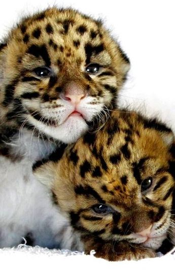 19 Pictures of Big Cats Being Cute