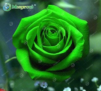 RARE 24 Color Rainbow Holland Rose Seeds