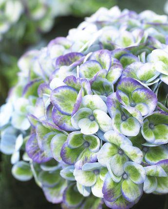 Hydrangea macrophylla Magical Revolution Blue - garden - hortensia