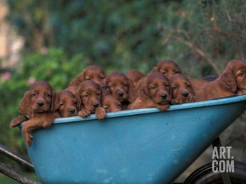 Domestic Dogs, a Wheelbarrow Full of Irish / Red Setter PuppiesBy Adriano Bacchella