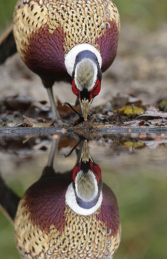 Ring-necked Pheasant    photo by Mark Hancox    kThis post has 65 notes   tThis was posted 11 months ago  zThis has been tagged with animals, game bird, pheasant,