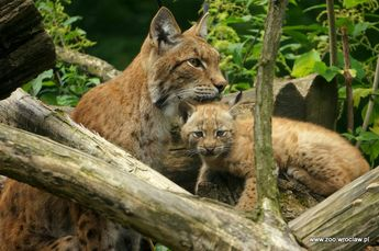 Lovely Lynx Kitten Born at ZOO Wroclaw