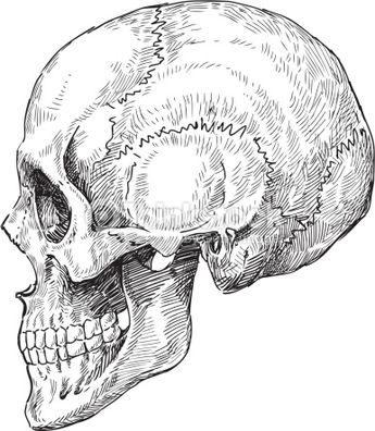 Vector drawing of a human skull.