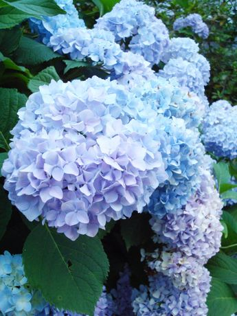 hydrangeas- I fell in love with them when I saw them in bloom in the Greek Isles.
