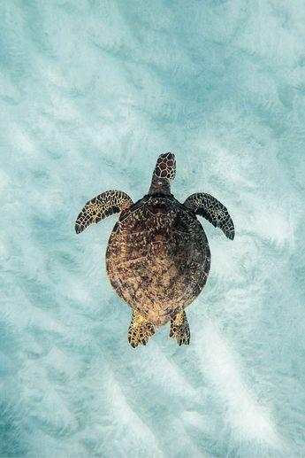 WHERE TO SWIM WITH TURTLES ON OAHU, HAWAII