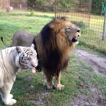 """You ask them nicely to """"look this way,"""" and this is what you get! :) Big Cat Rescue, Tampa"""