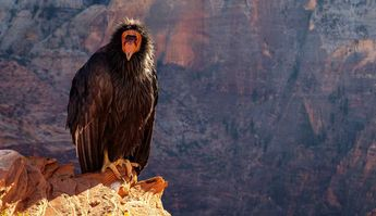 It's Been 127 Years Since California Condors Were in the Pacific Northwest – Now They're Coming Back
