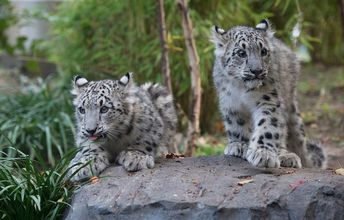 Big Cats Come Out to Play at Central Park Zoo