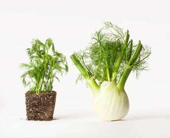 Dill and fennel often get confused for one another. They seem similar in appearance, but they are in fact two different plants used for different purposes and each possess unique characteristics that directly affect the nature of the dishes that they are used in. Although seemingly similar, dill (on the left) and fennel (on the … #Herbs
