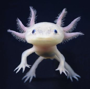 The axolotl (Ambystoma mexicanum) is a species of salamander found in the area around Mexico City. The species is nearly extinct in the wild, due to habitat loss and pollution. However, thousands (or maybe more) of this animal live in laboratories around the world.