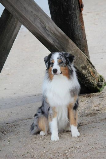 Australian Shepherd Dog Breed Information, Popular Pictures   FallinPets