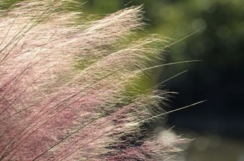 Care of Pink Muhly Grass