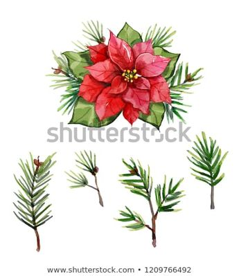 Watercolor Red Christmas poinsettia flower isolated on white background. pine needle