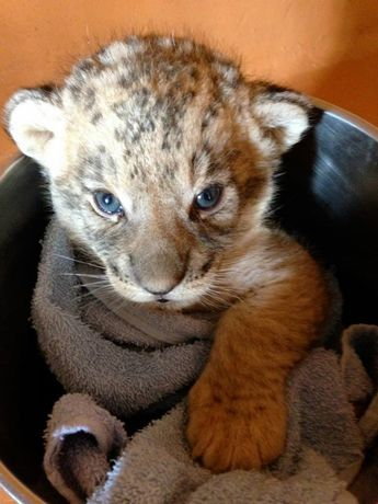 Paradise Valley Springs has new Baby Lion Cubs, born on the 20th of September 2013. #zoo #lion