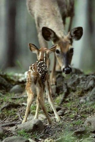 Happy little cute #deer learning how to walk